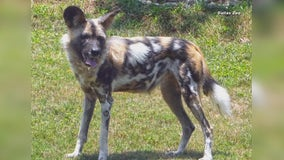 African painted dog killed by packmates at Dallas Zoo