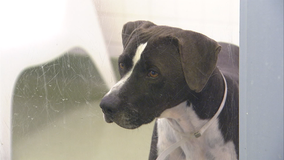Fort Worth animal shelter offering free adoptions for big dogs