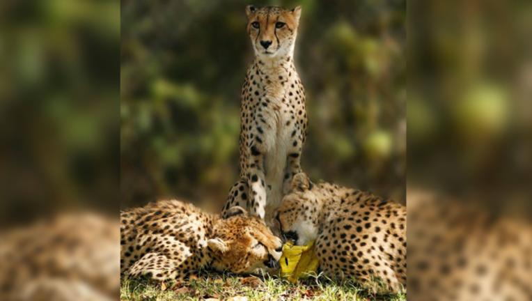 Dallas Zoo cheetah_1489697513627.png