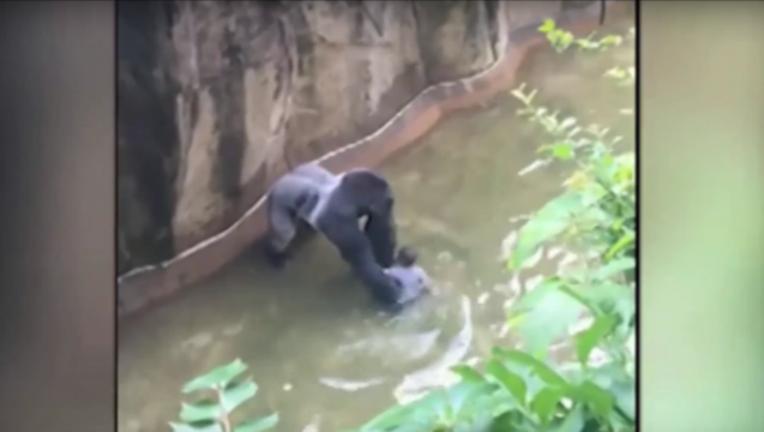 gorilla-harambe_1464531613671-404023.png