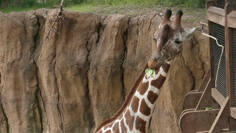 2243b34f-Dallas Zoo giraffe Katie