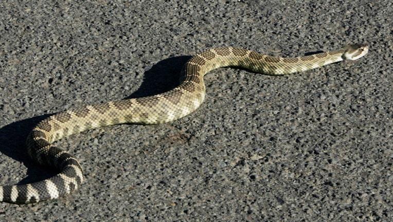 Snake, Rattlesnake