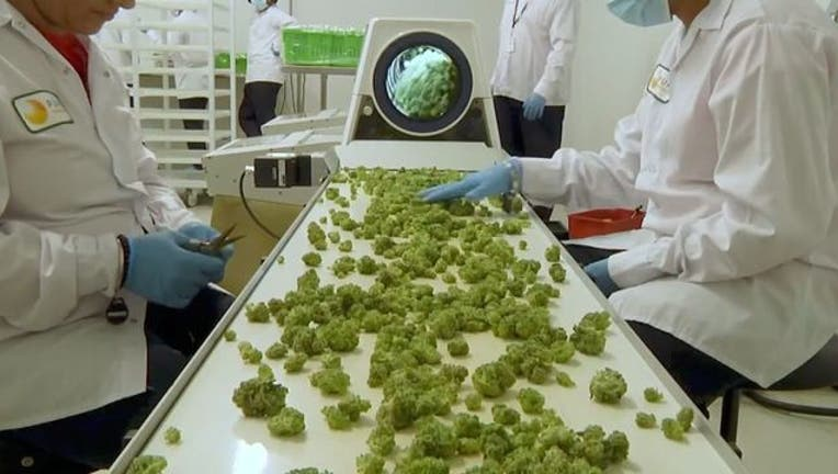 4f107e1b-wjbk-marijuana pot weed-101018_1539175362479.jpg-65880.jpg