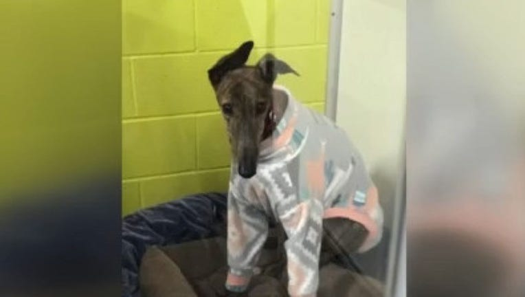 5d6bffc3-500_Greyhounds_rescued_from_Macau_China__0_20181224205859-407693