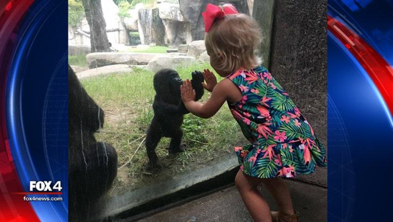 6411218a-FW zoo baby gorilla_1464106764148.jpg