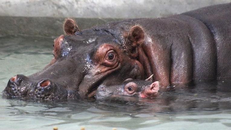 7dcff71c-hippo dallas zoo