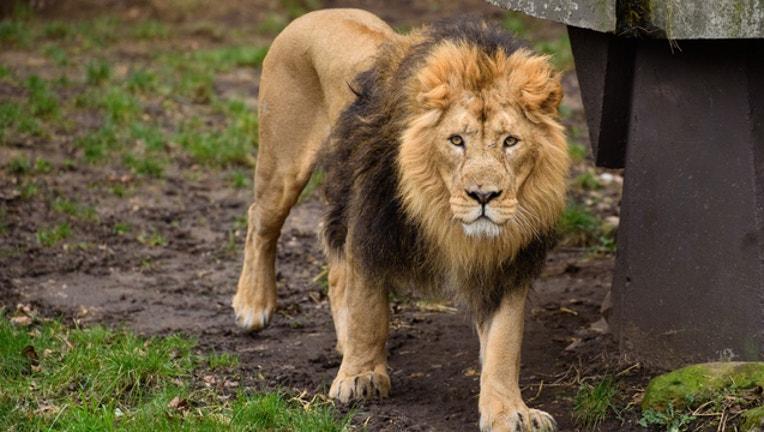 a70fb7b2-lion zoo getty_1546213151124.jpg-401720.jpg