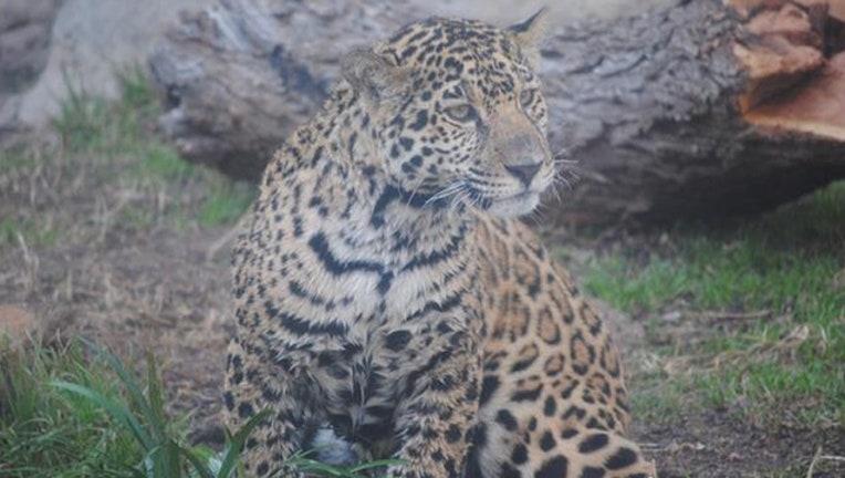 b43c71c8-abilene zoo jaguar_1494958423139.jpg