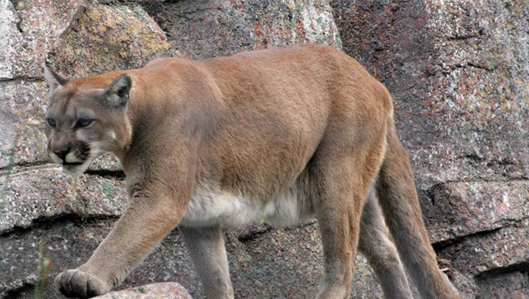 c880d11a-Mountain-Lion_1466276323617-407693.jpg