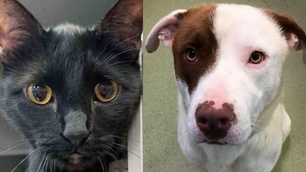 Dallas Animal Services at over capacity; offering free ...