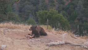Rare sighting of black bear eating condor in Big Sur