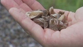 Grapevine Lake now 'infested' with zebra mussels, officials say
