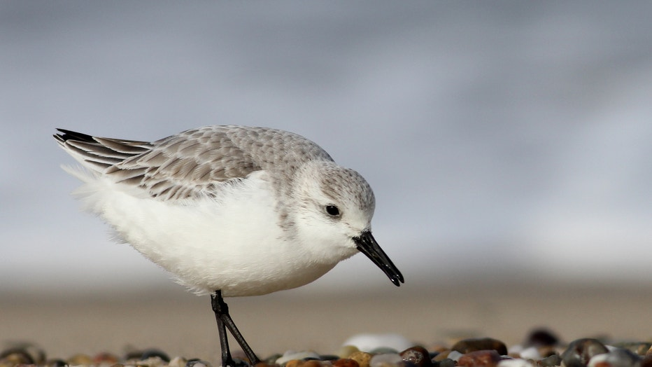 Sanderling-by-Andy-Eckerson-Macaulay-Library-at-Cornell-Lab-of-Ornithology-83166281.jpg