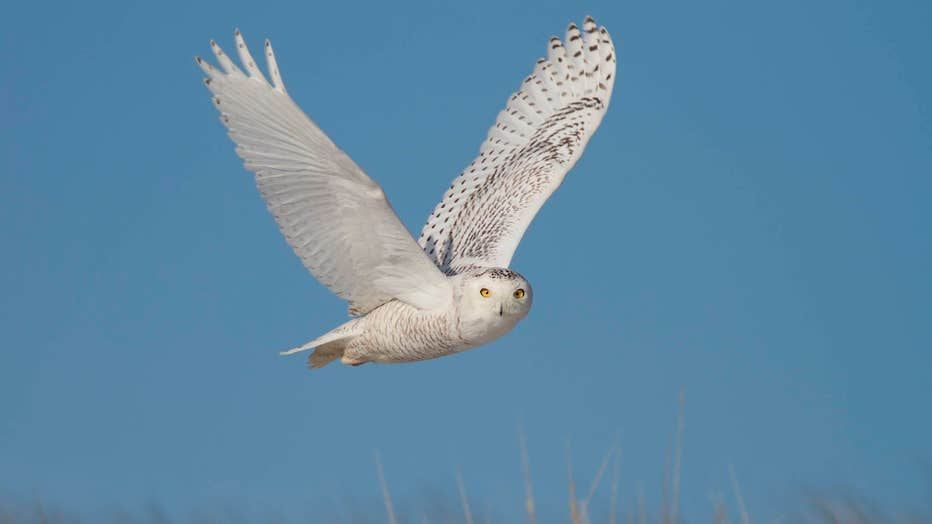 Snowy-Owl-by-Doug-Hitchcox-Macaulay-Library-at-Cornell-Lab-of-Ornithology-41544741.jpg