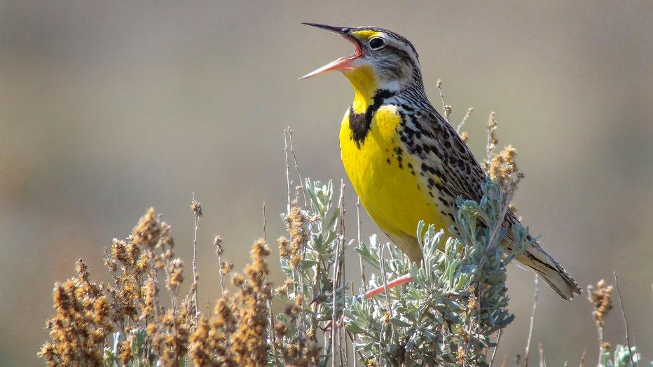 Western-Meadowlark-by-Matthew-Pendleton-Macaulay-Library-at-Cornell-Lab-of-Ornithology-52661031.jpg