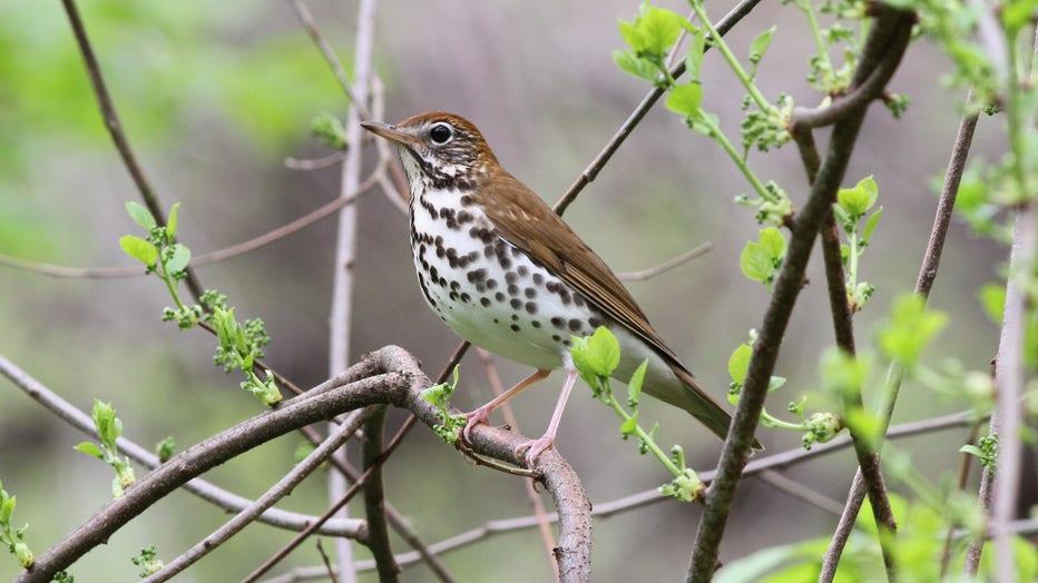 Wood-Thrush_Michael-Parr-American-Bird-Conservancy.jpg