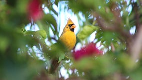 'One in a million' yellow cardinal named 'Sunny' spotted in Florida