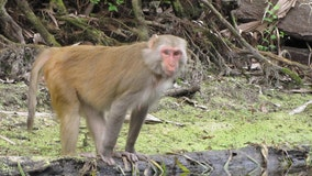 Monkeys jump from trees into Florida river near kayaker