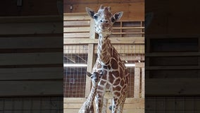 April the giraffe's last baby is headed to Texas zoo