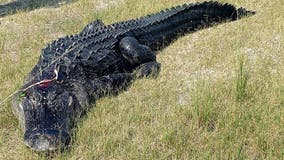 Florida man found eaten by alligator actually died from meth overdose, officials say