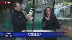 Dallas Zoo hosts Penguin Days