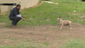 Dallas Animal Services making progress in controlling loose dog problem