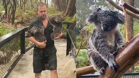 Video shows staff at Australian wildlife sanctuary rushing to protect animals during flash flooding