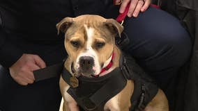New Jersey's first pit bull arson detection K9 graduates from training