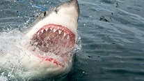 New Zealand surfer fights off great white shark by punching it repeatedly, cursing it off