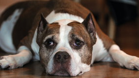 Denver to end 30-year pit bull ban, require license for owners