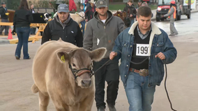 Fort Worth Stock Show kicks off final weekend with junior steer parade and show