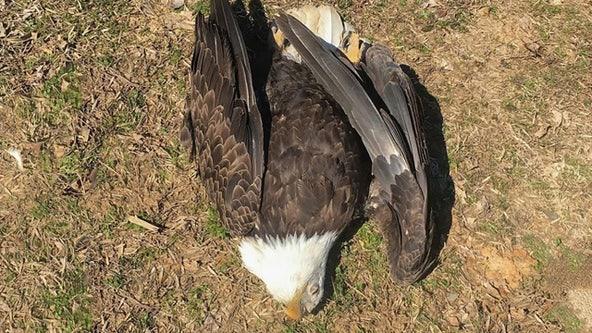 Bald eagle shot and killed in Arkansas; $5,000 reward offered