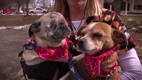 Blind pug and his seeing-eye chihuahua in need of forever home