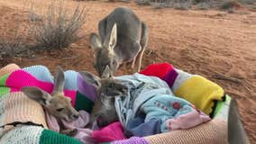 Adult kangaroos greet orphaned babies at Australian animal sanctuary