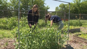 Mansfield high school senior leaves legacy of service with garden to supply local food pantry
