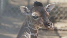 New baby giraffe born at the Dallas Zoo
