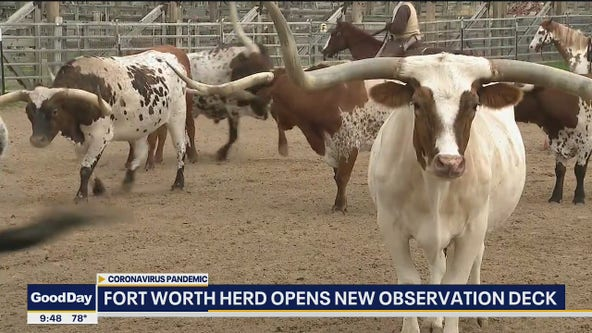 Fort Worth to showcase herd via observation deck