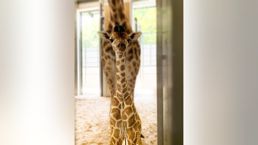 Public helps name Fort Worth Zoo's new baby giraffe