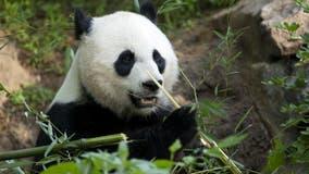 National Zoo's Mei Xiang gives birth to giant panda cub