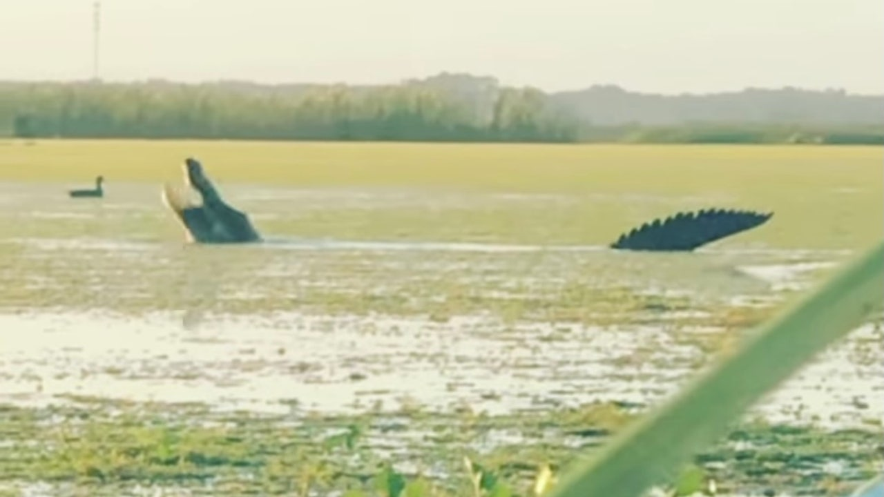 13-foot massive alligator snatches duck from hunters in...