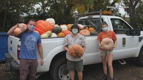 Dallas Arboretum's leftover pumpkins heading to Dallas Zoo