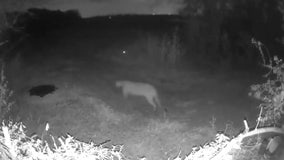 Mountain lion caught on camera near Rowlett in rare sighting