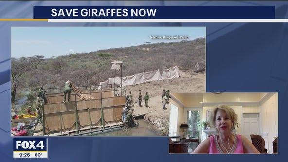 9 stranded giraffes rescued from island in Kenya