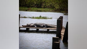 Gators spotted at Lake Worth in Fort Worth