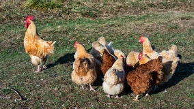 Plano residents now allowed to own backyard chickens