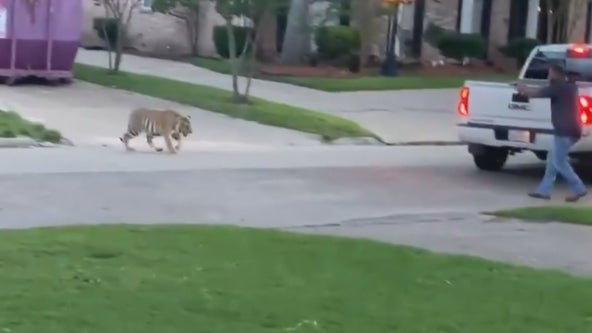 Video shows tiger in yard of Houston neighborhood