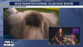 Wasabi the Pekingese wins Westminster Kennel Club's best in show