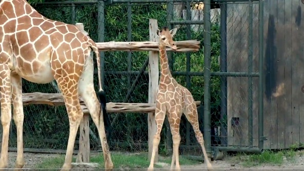 Voters choose name of iconic Texas brand for Fort Worth's newest baby giraffe
