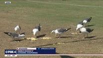 Seagulls enjoy what remains of Dak Prescott's birthday cake