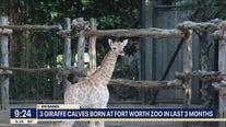 Fort Worth Zoo welcomes new giraffe calves